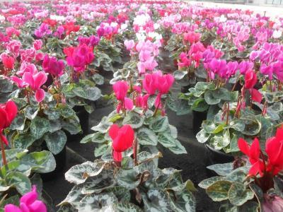 Bientot la rentrée scolaire,  pour l' automne   les fleurs arrivent aussi  en  magasin.