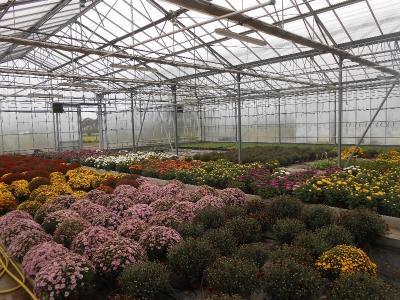 Plantes de Toussaint, disponibles chez votre fleuriste à St VIGOR.