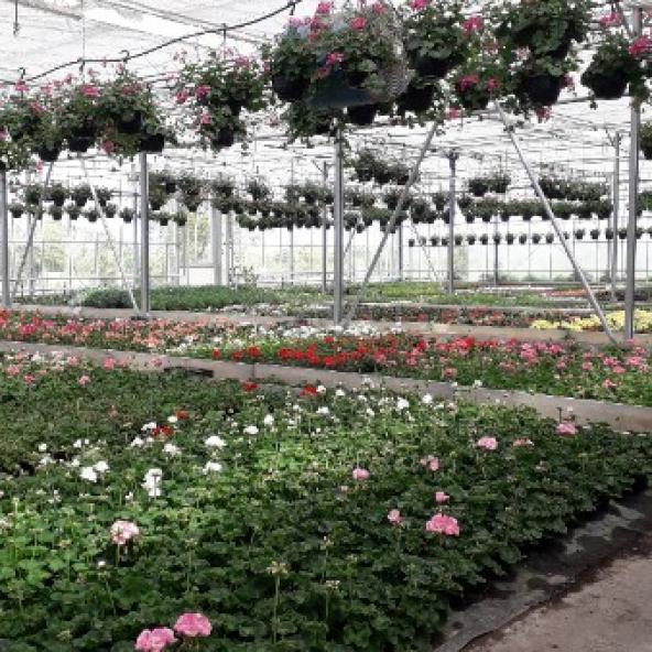 Production de plantes à la serre du Molay-Littry Eric GUILLEMET
